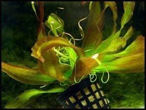 Vallisneria caulescens copia