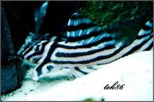 Hypancistrus zebra foto1a