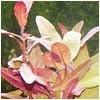 Alternanthera reineckii 'lilacina' 100x100