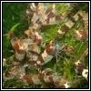 Heocaridina-cf-breviata-hummel100x100