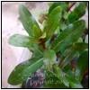 ammania gracilis 100x100