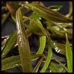 Hygrophila sp. 'Araguaia' copi