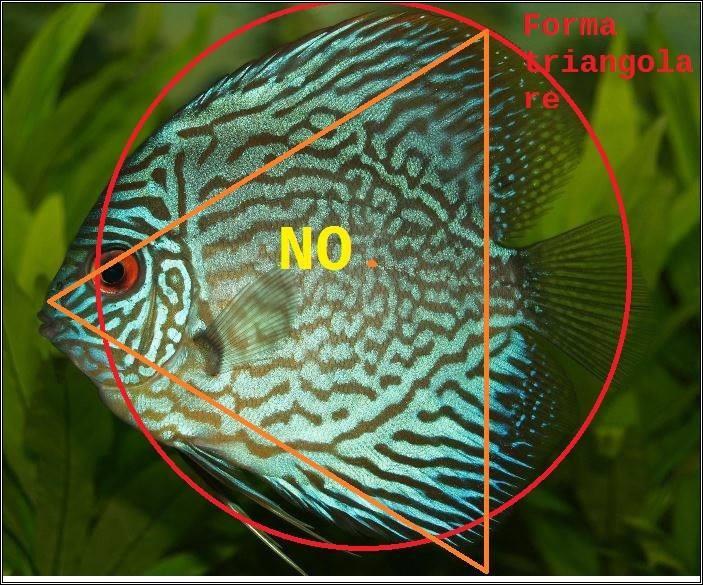 Discus la forma la testa e l occhio pagina di acquariofili